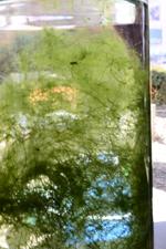 フラスコ藻.jpg